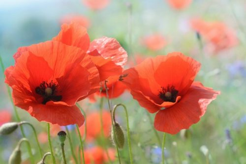 Birth flowers and their meanings pausitive living august birth flowers gladiolus and poppy mightylinksfo