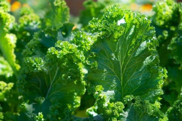 kale growing in garden